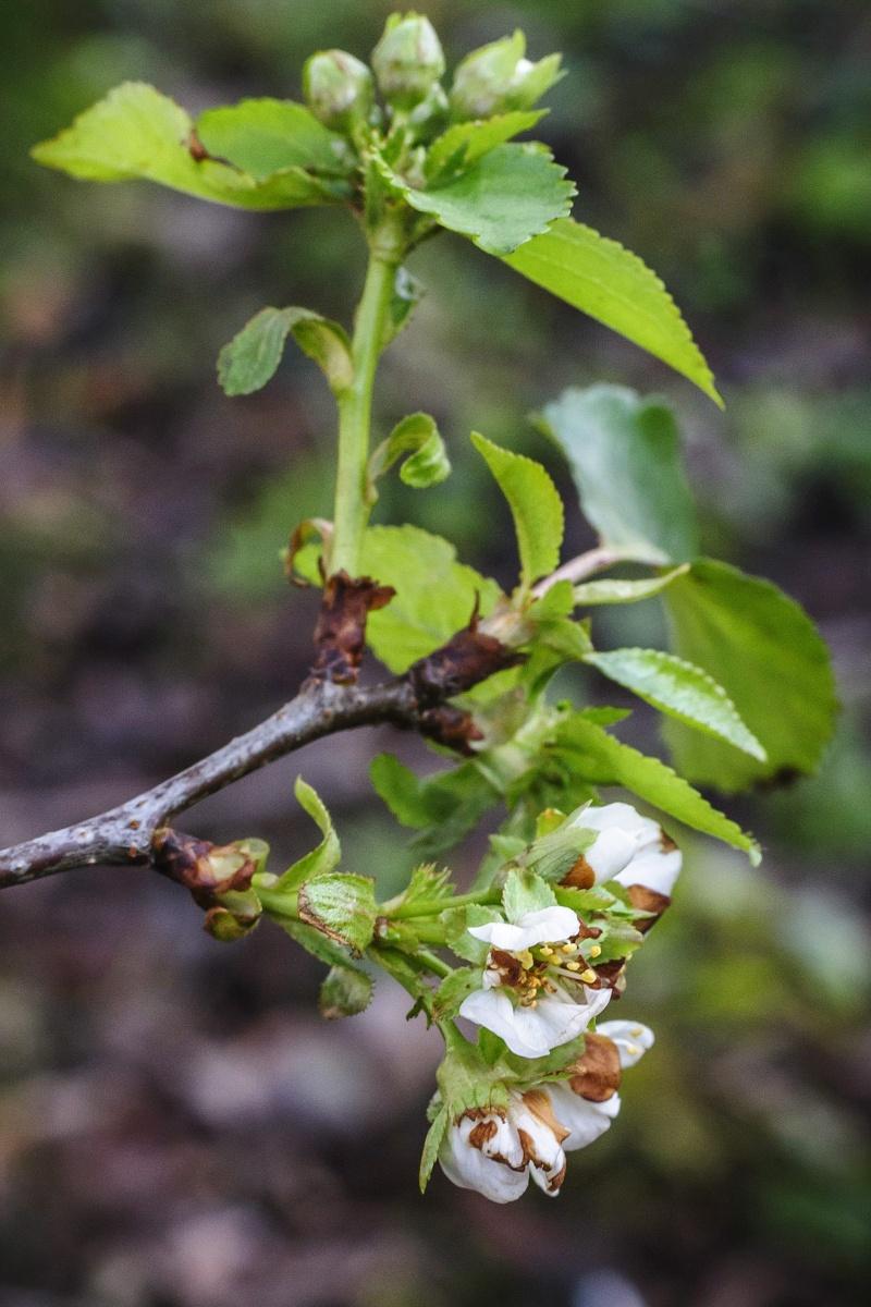 Sour Cherry Trees In Bloom The Debrecen Sun