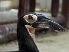 Dodó, the southern ground hornbill