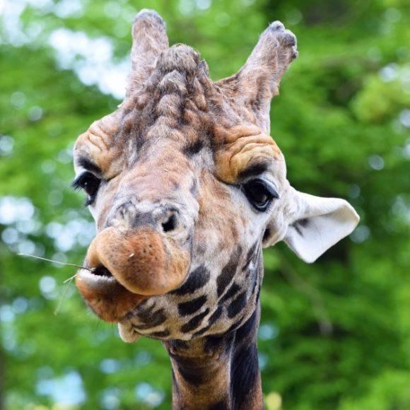 giraffe-chewing-plant_1161-175