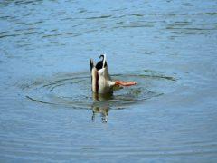 mallard-duck-3406498_960_720
